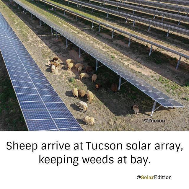 Sheep arrive at Tucson solar array, keeping weeds at bay