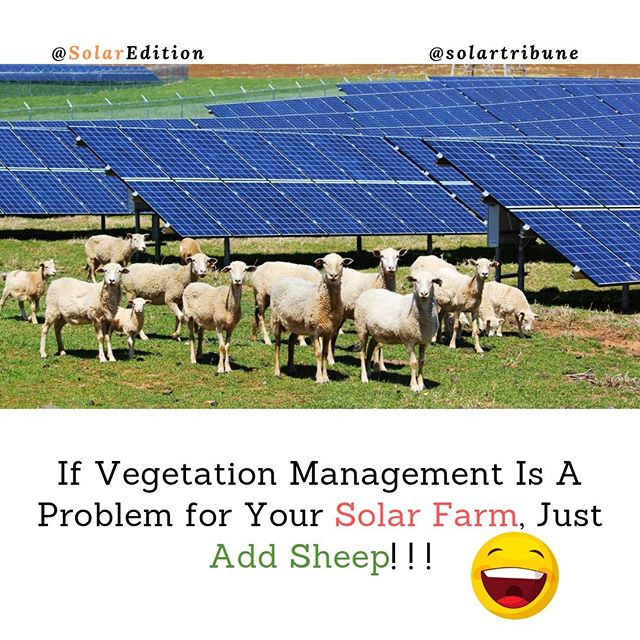 If Vegetation Management Is A Problem for Your Solar Farm, Just Add Sheep!!!